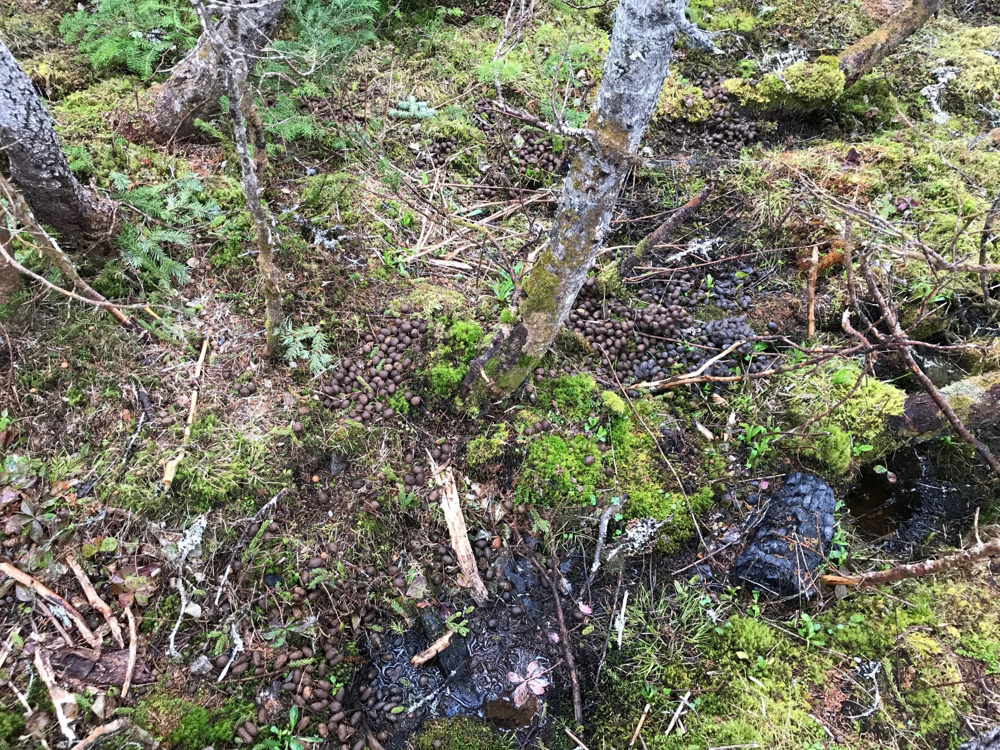 Moose droppings i Pistolet Bay Provincial Park